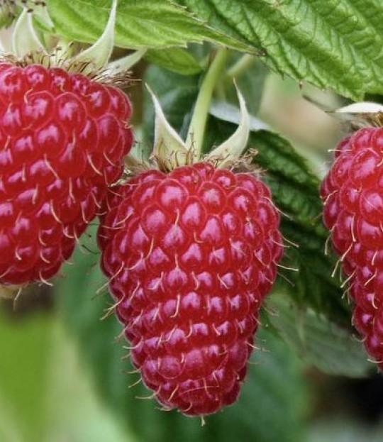 Bringebær plante Glen Ample, pris pr plante 100-499 stk