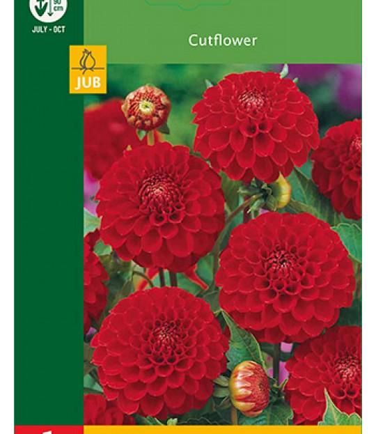 Blomsterknoll Georgine Pompon Rød 1 stk