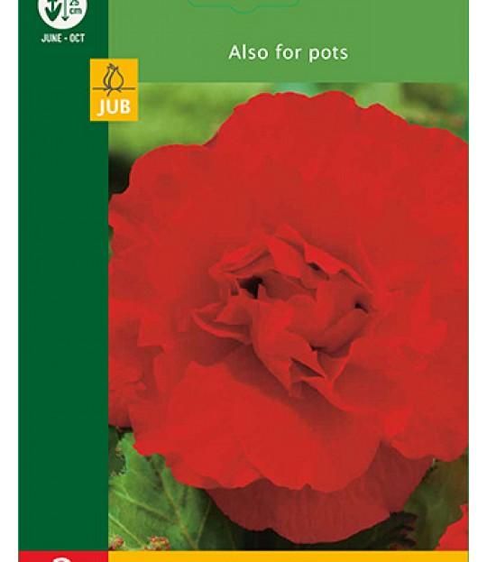 Blomsterknoll Begonia Grandiflora Rød 2 stk